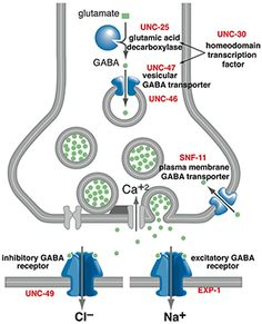 GABA (Gamma-Aminobutyric acid) is a neurotransmitter in the central nervous system of mammals. GABA's role changes from excitatory to inhibitory as the brain develops into adulthood. Normally, when a neuron receives an impulse, it will make the signal stronger, an inhibiting neurotransmitter prevents the cell from receiving the impulse, and the signal as a whole is weakened.