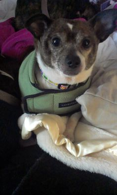 DEXTER (foster home) FOUND IN ALIQUIPPA, PA...Meet Dexter a Petfinder adoptable Chihuahua Dog | Aliquippa, PA | Dexter, 7 year old Dachshund Chihuahua mix. He is currently living in a foster home with other...