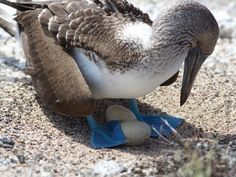 Blue-footed boobies, giant tortoises, penguins, sea lions and Darwin's famous finches are just the beginning of the nature attractions in th...