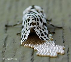 The Many-Spotted White Tiger Moth Photo by Heather Wolfers - 2015 National Geographic Photo Contest Wildlife Photography, Amazing Photography, Photography Tips, Natural World, Natural History, National Geographic Photo Contest, Tiger Moth, Year 2016, Image