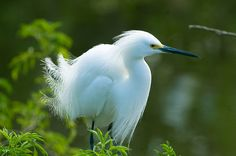 snowy egret.....I have seen these through out my entire life as they are native to Northern California <3