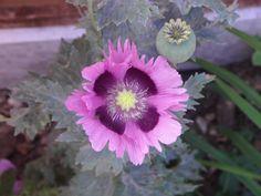 Purple Poppy and Fly, Flowers, Seedhead, Gardens, Flowerbed