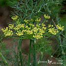 Did you know that dill is a butterfly host plant? Learn all about it by clicking the link!