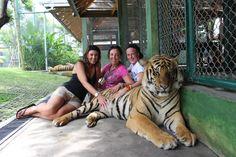 See 1193 photos from 4770 visitors about big tiger, spacious, and pets. Big Tiger, Wild Things, Phuket, Big Cats, Thailand, Activities, Pets, Travel, Animals