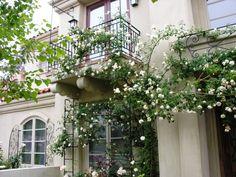 Image result for sombreuil rose