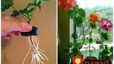 Jediná vetvička vám zaplní celý kvetináč: Čínsku ružu už nikdy nekúpite v kvetinárstve, toto je najjednoduchší spôsob, ako ju rozmnožiť! Plant Hanger, Projects To Try, Herbs, Gardening, Flowers, Plants, Hacks, Hydroponics, Garten