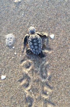 The Baby Animals are back! This series of articles from a Conscious Change Coach will help you figure out how to bring more Love into your life. Feeling affection for pets and other animals can… Baby Animals Super Cute, Cute Little Animals, Cute Funny Animals, Baby Sea Turtles, Cute Turtles, Save The Sea Turtles, Turtle Baby, Baby Animals Pictures, Cute Animal Photos
