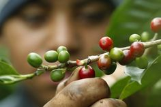 Scientists have discovered the ultimate brew that they say is healthier than coffee or tea: a tea made from coffee leaves. Sunday Coffee, Coffee Cafe, Coffee Drinks, Coffee Study, Coffee Plant, Types Of Tea, Coffee Colour, Fresh Coffee, Healthy Alternatives