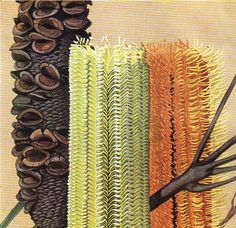 Swamp Banksia Australian Wild flower print by VintageAndNostalgia