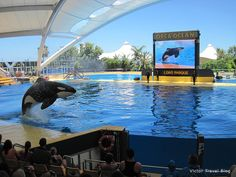 Loro Park, Tenerife, Canaries, Spain. A terrific show with the beautiful orcas
