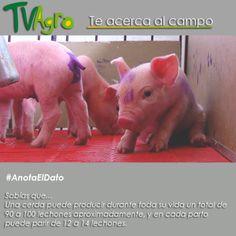 #AnotaElDato Los porcinos son excelentes animales reproductivos.