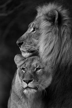 Lion and Lioness . - - Lion and Lioness … – Effektive Bilder, d - Couple Lion, Beautiful Cats, Animals Beautiful, Animals And Pets, Cute Animals, Wild Animals, Baby Animals, Gato Grande, Lion Love