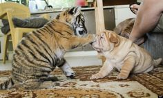 Baby tiger boops a shar pei puppy..   Or, trust me. Smell my paw.  animal best friends | Best Friends |