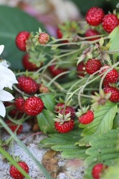 Smultron Strawberry Farm, Strawberry Plants, Strawberry Fields, Bunny Fufu, Wild Strawberries, Garden Trees, Summer Of Love, Fruits And Vegetables, Red Green