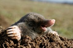 This is a guide about getting rid of moles in your yard. Moles can make your yard look really messy in a very short period of time. They are notoriously difficult to eliminate from your yard and often require professional assistance.