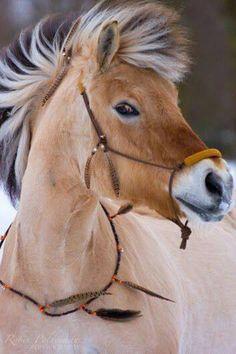 Norwegian Fjord Horse Brown Dun Long Mane Rope Halter Standing Stallion Gelding Mare