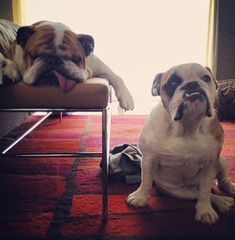 English Bulldogs!!!!! :) so cute!!!!