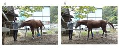 When horses face unsolvable problems, they use visual and tactile signals to get human attention and ask for help, a new study has demonstrated. The study also suggests that horses alter their communicative behavior based on humans' knowledge of the situation.