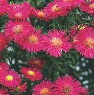 Aster  Attracts Butterfly's  A wonderful cut flower, asters make any garden explode with color at the end of the growing season. From miniature alpine plants to giants up to 6 feet tall, there are over 250 asters, with plenty of colors to choose from. Asters are a great way to brighten up the fall landscape in your backyard.