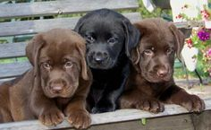 Lab Puppies - if I wasn't the only one in the house to take care of them, I would love a chocolate one!