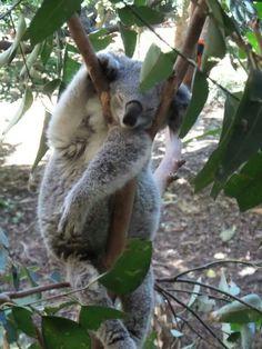 Koala bear in her afternoon setback....