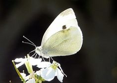 papillon_blanc