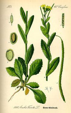 Flora von Deutschland Österreich und der Schweiz (1885) - Arabis turrita