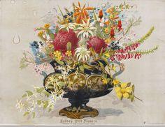 Lost gardens of Sydney Melaleuca, Botanical Art, Botanical Illustration, Australia Occidental, Sydney Gardens, Colonial Garden, Lost Garden, Australian Wildflowers, Fedoras
