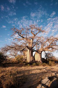 Baobab, Kubu island, Makgadikgadi Pan | por Obliot