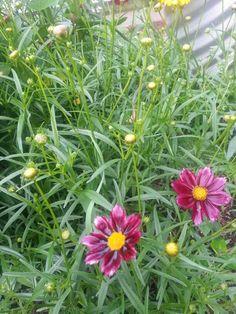 Mercury Rising Coreopsis. Butterflies like these flowers!