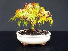 *rs Bonsai Acer palmatum Abmoosung 005