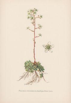 Botanical Print Saxifraga aizoon Aizoon by AntiquePrintGarden