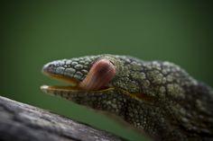 Eurydactylus agricolae #geckos #lizards #reptiles #herpetology