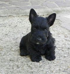 Scottie puppy with a 'milk-chin'... ya just don't get any more adorable.  <3 <3 <3