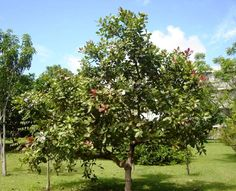 This article has all the basic growing and planting information that is going to help you with How to Grow a Cashew Tree! Fruit Trees, Trees To Plant, Cashew Nut Tree, Farm Gardens, Veggie Gardens, Market Garden, Family Garden, Vegetable Garden Design, Vegetables Garden