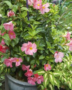 Grow Gorgeous Dipladenia and Mandevillas in Containers: Mandevilla