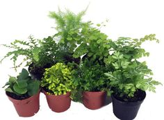 "Mini Ferns for Terrariums/Fairy Garden - 8 Different Plants - 2"""" Pots"