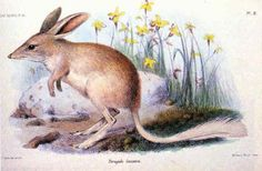 These 10 Marsupials Will Never Hop Again: Recently Extinct Marsupial #7 - The Lesser Bilby