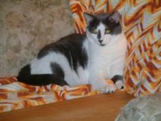 Angel is an adoptable Domestic Short Hair-Black And White Cat in Sheboygan, WI. Hello everyone. My name is Angel. I was born on July 8, 2007. My momma was an outside cat. When I was about 5 weeks old ...