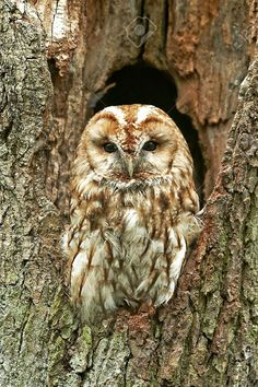 This image was just sold @123rf: Tawny Owl day resting in a hollow tree trunk http://www.123rf.com/photo_35578775_tawny-owl-day-resting-in-a-hollow-tree-trunk.html