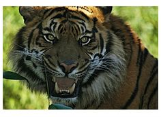 Categorie: Dieren foto's Siberische tijger  Prijs per kaart vanaf: € 2,65 excl. porto Wenskaart is geheel naar eigen wens aan te passen, tekst, figuur of foto. www.wenskaartenshop.droomcreaties.nl