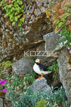rocky puffin - A puffin sitting on a rock
