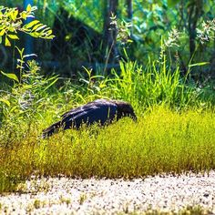 Scavenging in the grass. #raven #blackbird #sunlight #wildlife #scavenger #adventure #summer #afternoon #birdwatching #birds #nature #naturephotography #inthecity #lightroomcc #adobe #canon