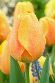 Tulipa darwin hybrid 'Blushing Apeldoorn' Tulip