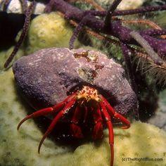 Scarlet Hermit Crab (Paguristes cadenati), Cayman Islands - photo by B N Sullivan for TheRightBlue.com