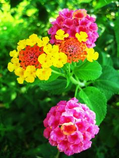 Lantana - MIL just gave me one of these :-) Reminds me of my neighbor's house back in CA.