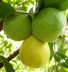 Arazá- Fruta de la selva colombiana. Su fragancia y textura son deliciosas.