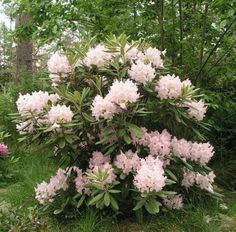 Rhododendron - alppiruusu 'Mikkeli' ('St Michel') Bushes And Shrubs, Flowering Bushes, Outdoor Plants, Outdoor Gardens, Partial Shade Plants, Woodland Garden, Day Lilies, Large Flowers, Garden Landscaping