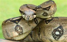 Le serpent qui le petit prince a reconnu