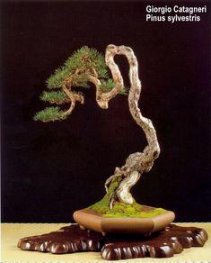 Literati bonsai, pinus sylvestris